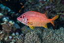 Giant squirrelfish (Sargocentron spiniferum)